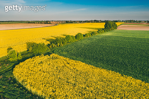Natural Green Field With Trails Lines In Blooming Canola Yellow Flowers. Top View Of Rape Plant, Rapeseed, Oilseed Field Meadow Grass Landscape