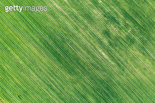Natural Green Field Background With Trails Lines. Flat View Top View Of Field With Growing Young Green Wheat. Meadow Grass