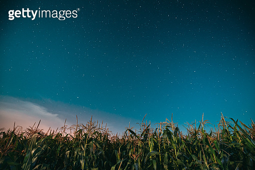Night Starry Sky Above Green Maize Corn Field Plantation In Summer Agricultural Season. Night Stars Above Cornfield In August Month
