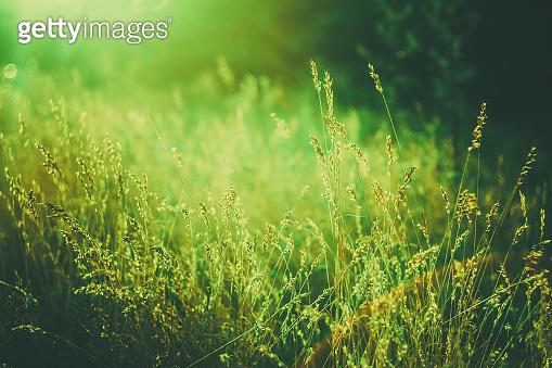Summer Grass On Meadow