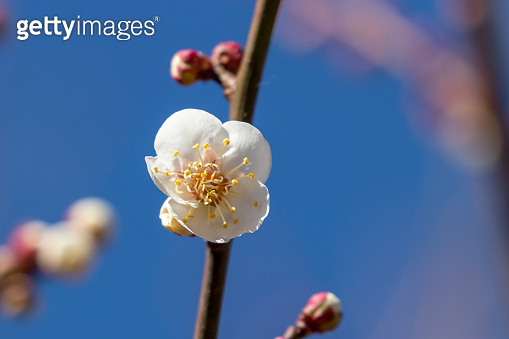 White plum blossoms blooming in Mukojima, Sumida-city, Tokyo, Japan