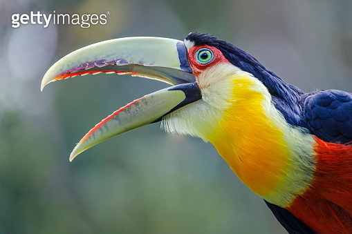 Toucan tropical bird screaming out loud on nature background – Pantanal, Brazil