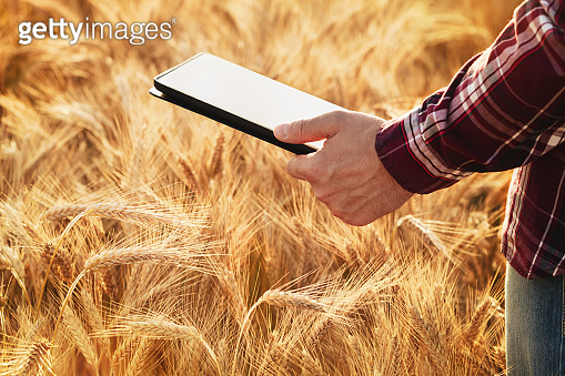 Farmer man in cereal field with digital tablet in hand. The use of modern computer technology for the calculation, monitoring and planning of agricultural produce.