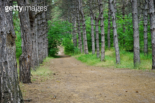 blurred image of a pine forest with a road in summer