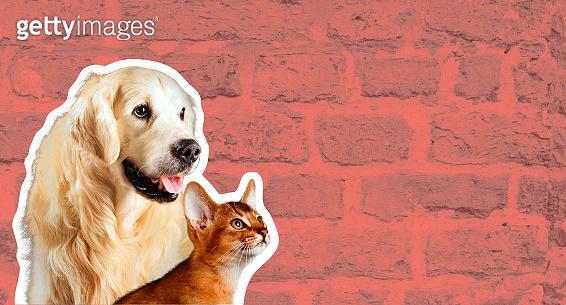 Cat and dog, abyssinian kitten , golden retriever looks at right in front of bright brick wall. Cartoon zine retro style