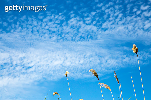 Natural summer background with copy space, heavenly landscape. Branches of reeds against the background of bright blue sky with beautiful white clouds in warm weather.