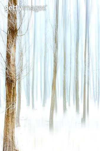Winter, snow, fog and forest. Poplar trees. Winter nature background.