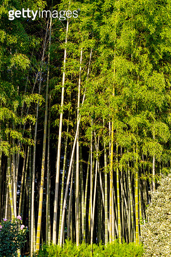 bamboo grove in the morning sun. Background from bamboo trees.