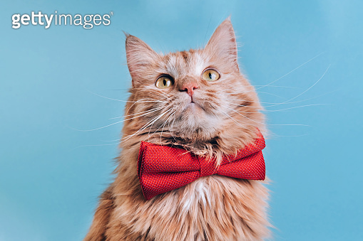 Red cat with pink bowtie front view
