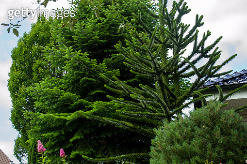 Green coniferous trees in the garden. Close up.