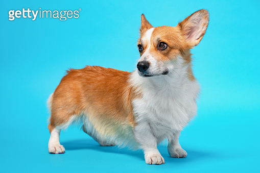 portrait of cute healthy and happy smart pembroke welsh corgi wide open ears in the photo studio on the blue background
