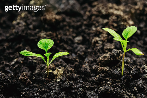 Young planting of eggplant in the closed ground