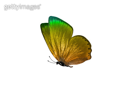 butterfly isolated on white background. colorful insect. close-up