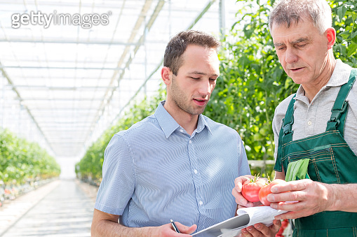 Farmer showing tomatoes to supervisor in greenhouse