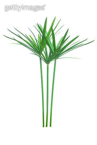 Umbrella plant, Papyrus, Cyperus alternifolius L. Isolated on white backgrund. with clipping path.