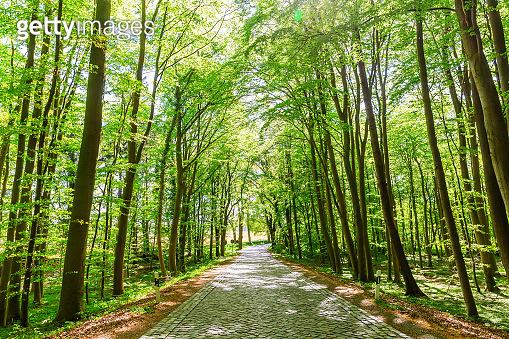 forest avenue on Ruegen, Germany