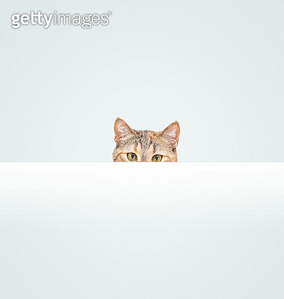 Curious cat peeking out from behind a blank white banner.