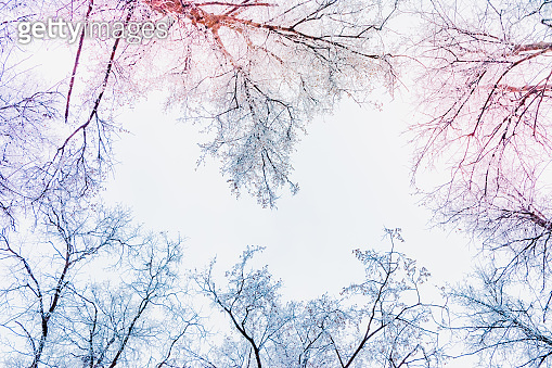 Winter christmas background with tree branches in hoarfrost