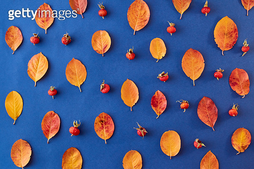 Flat lay pattern with colorful autumn leaves and berries on a blue background