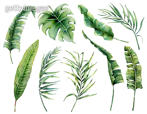 Watercolor set with tropical palm leaves. Hand painted nature illustration with coconut, banana, monstera leaves isolated on white background for design, print. Realistic delicate plant.