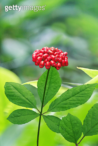 Red Fruit of Korean Traditional Ginseng