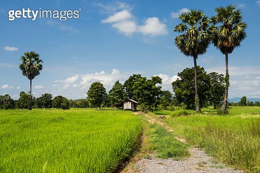 paddy rice fields and farmer hut