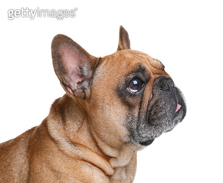 Cute French bulldog on white background. Funny pet