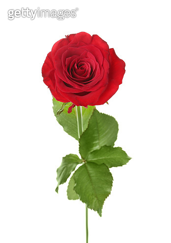 Beautiful red rose on white background. Funeral symbol