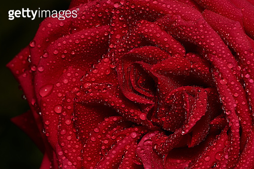 macro of red rose with drops, rose Burgund