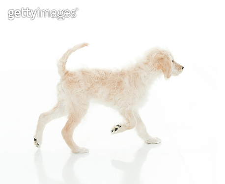 Side view / profile view of owner walking who is smiling / happy / cheerful with goldendoodle / canine / pets / puppy / dog