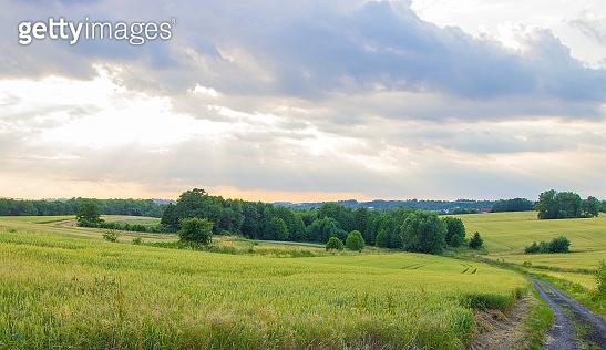 Polish arable fields. Rural landscape. Ripening cereals.