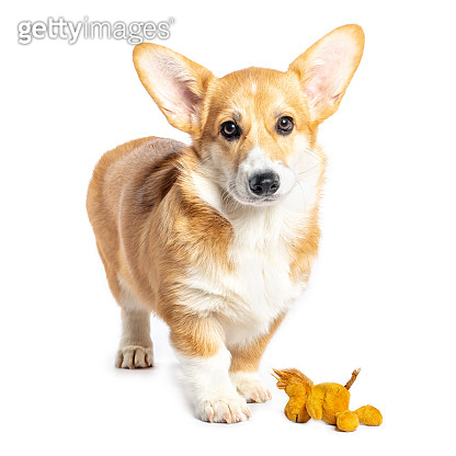 Pembroke Welsh Corgi puppy playing with a toy