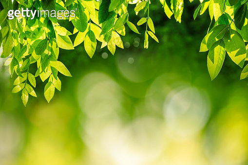 Green tree nature background in spring