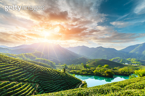 Beautiful green tea plantation natural scenery
