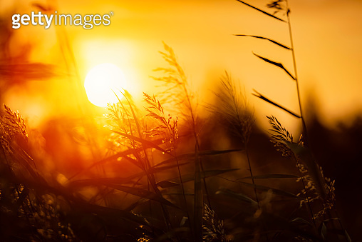 Bent Grass background on the summer sunrise .