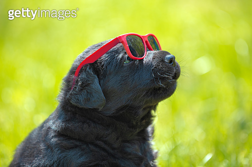 Funny labrador retriever puppy gaze through the sunglasses. Dog playing outdoors in the grass in summer