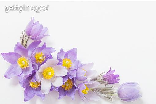 Spring violet flowers on  white background