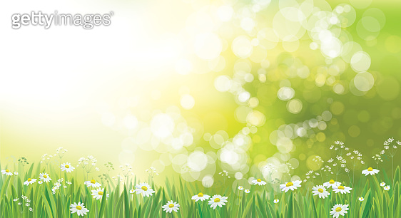 Vector summer nature  background, chamomiles field.