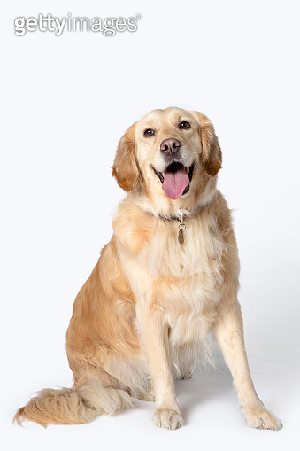 Happy face golden retriever sitting and looking at the camera on the white background.