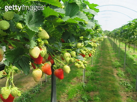 Hydroponics Strawberry in greenhouse with high technology farming. Agricultural Greenhouse with hydroponic shelving system.