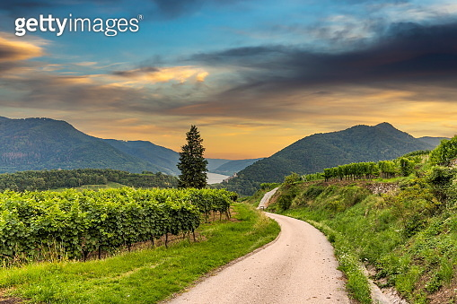 Road between vineyard in Wachau valley near Spitz village. Summer Evening. Lower Austria.