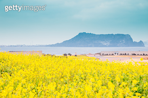 Seongsan Ilchulbong Tuff Cone and yellow rape flower field in Jeju Island, Korea