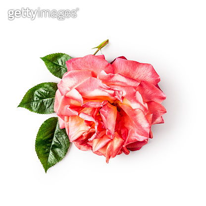 Pink yellow rose flower head with leaves