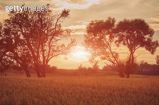 Sunset/Sunrise in wheat field. Nature concept.