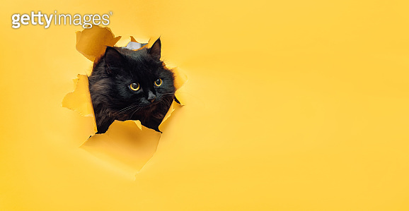 Funny black cat looks through ripped hole in yellow paper. Naughty pets and mischievous domestic animals. Peekaboo.