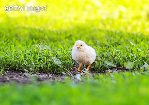 portrait of Easter little fluffy yellow chicken walking on the lush green grass in the yard of the village on a Sunny spring day