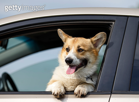 funny pet a ginger Corgi dog puppy stuck its snout out of a car window on the road while travelling