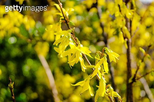 blooming yellow forsythia branch