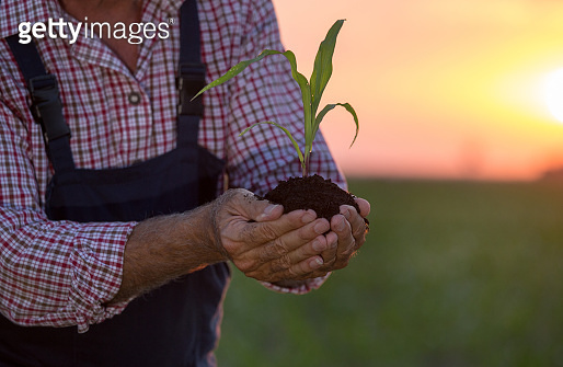 Farmer holding corn sprout in hands in field