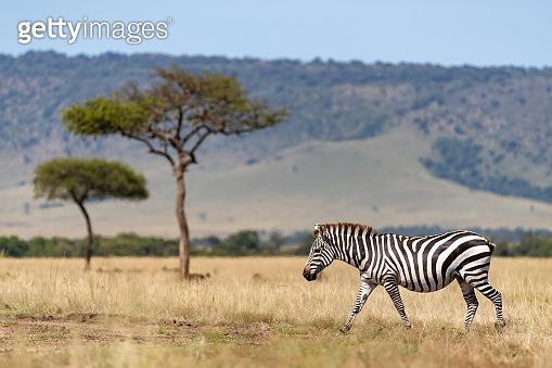 Zebra, acacia trees and the Oloololo escarpment, Masai Mara